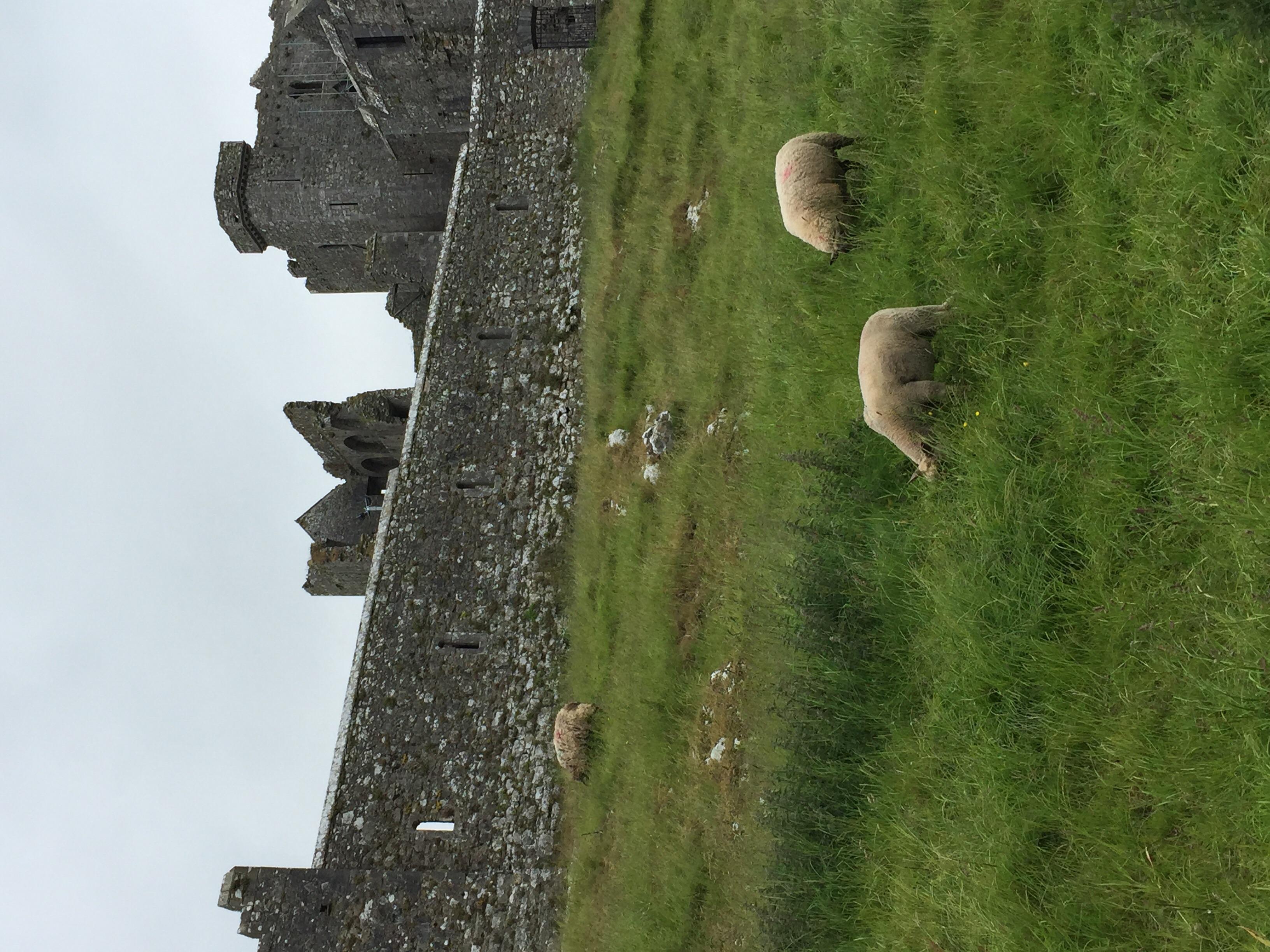 Sheep munching away, not noticing the Rock...