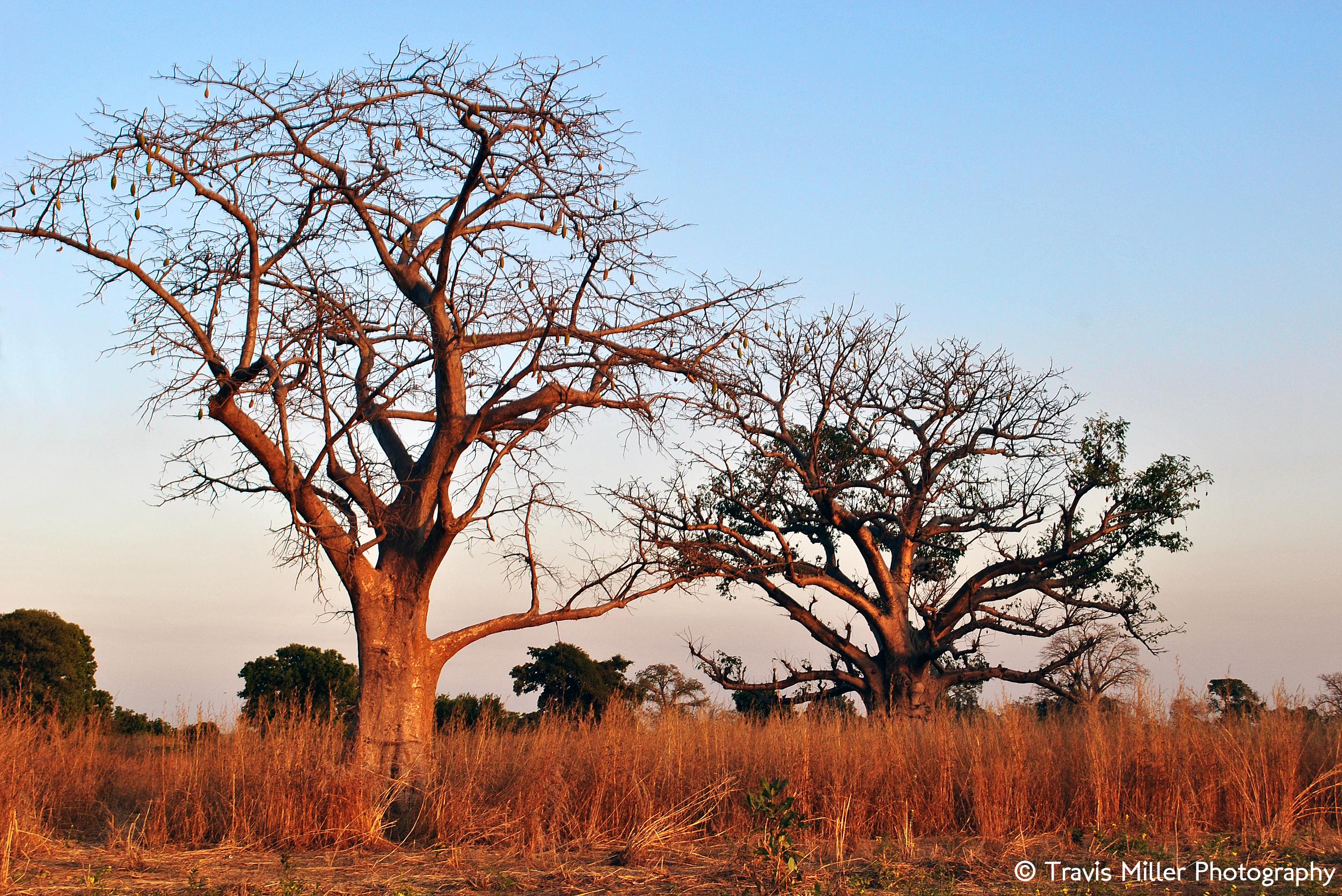 Two Baobabs      Si Kunda, The Gambia
