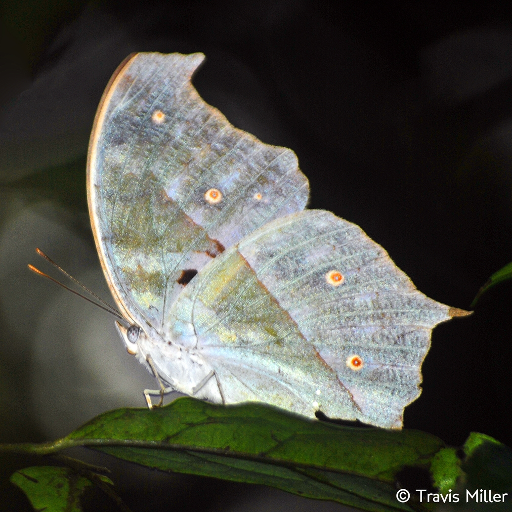 WA-017 Luminous Butterfly.jpg