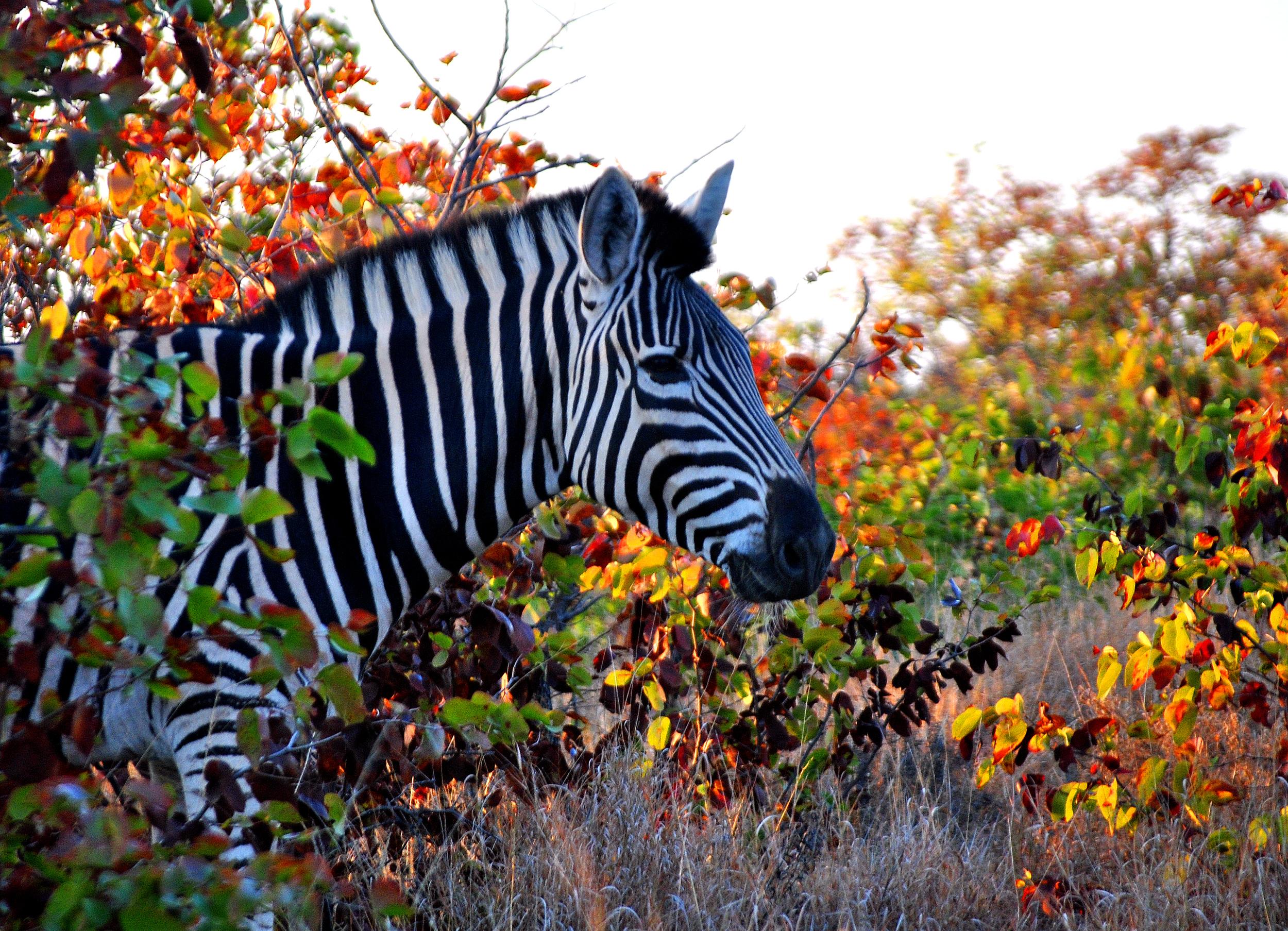 15 Kruger Zebra Close-up.jpg
