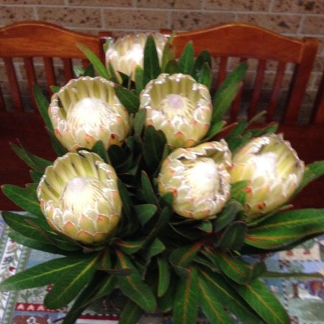 Protea vanilla ice