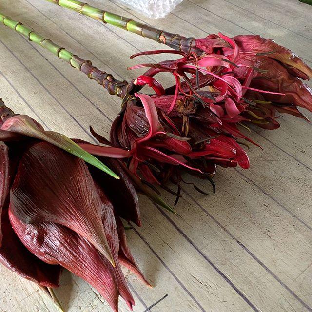 Gymea lily #doryanthesexcelsa #australianwildflowers  #plantationgrown #notoutofthebush #mountainnursery