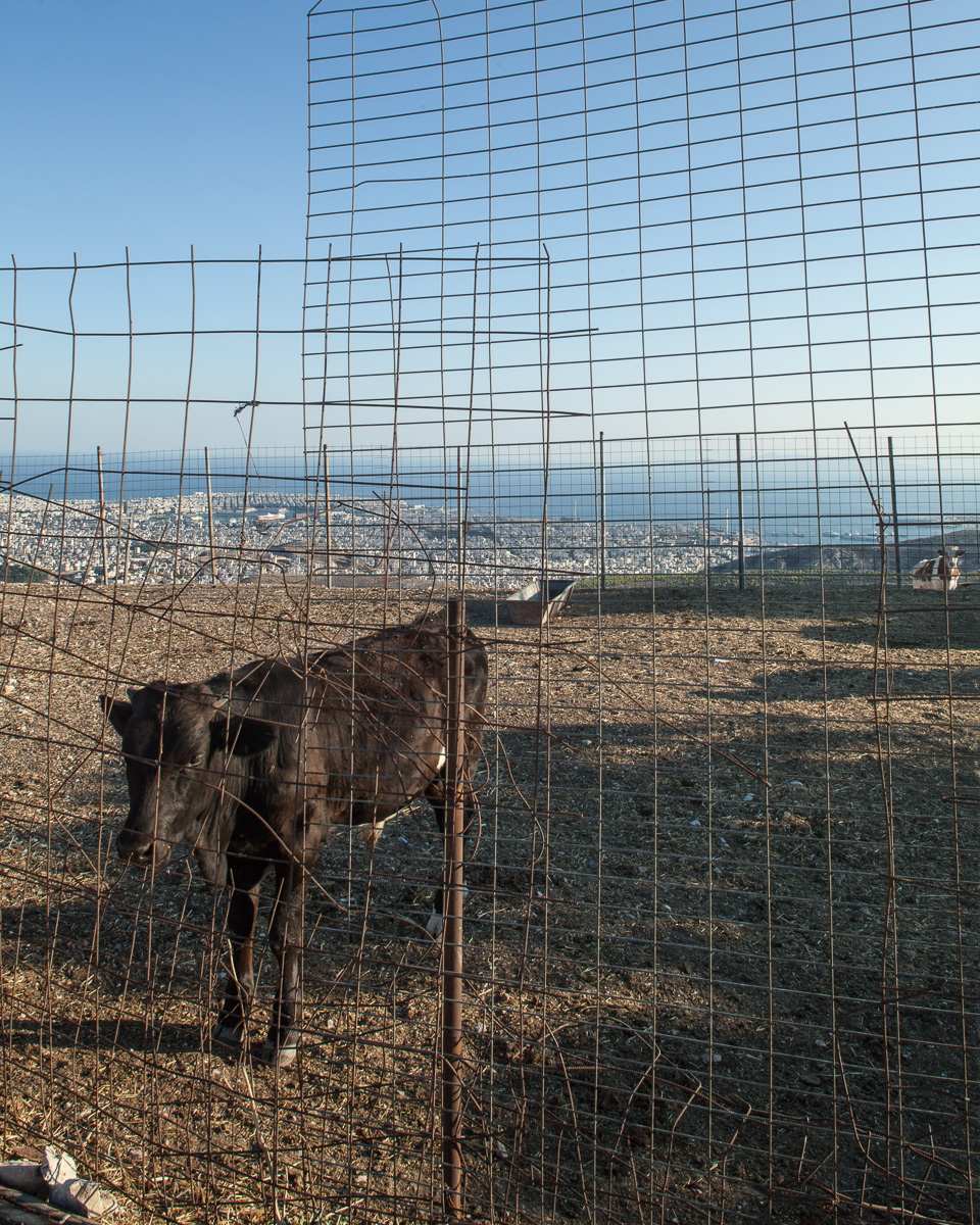 Dairy farm on Mt. Egaleo. View facing south with the port of Piraeus and the Aegean Sea in the background.