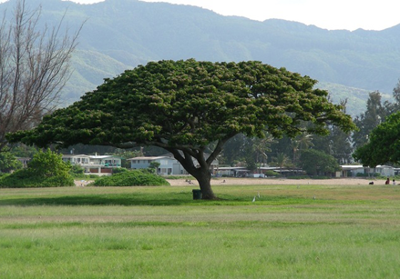 The Monkey Pod Tree
