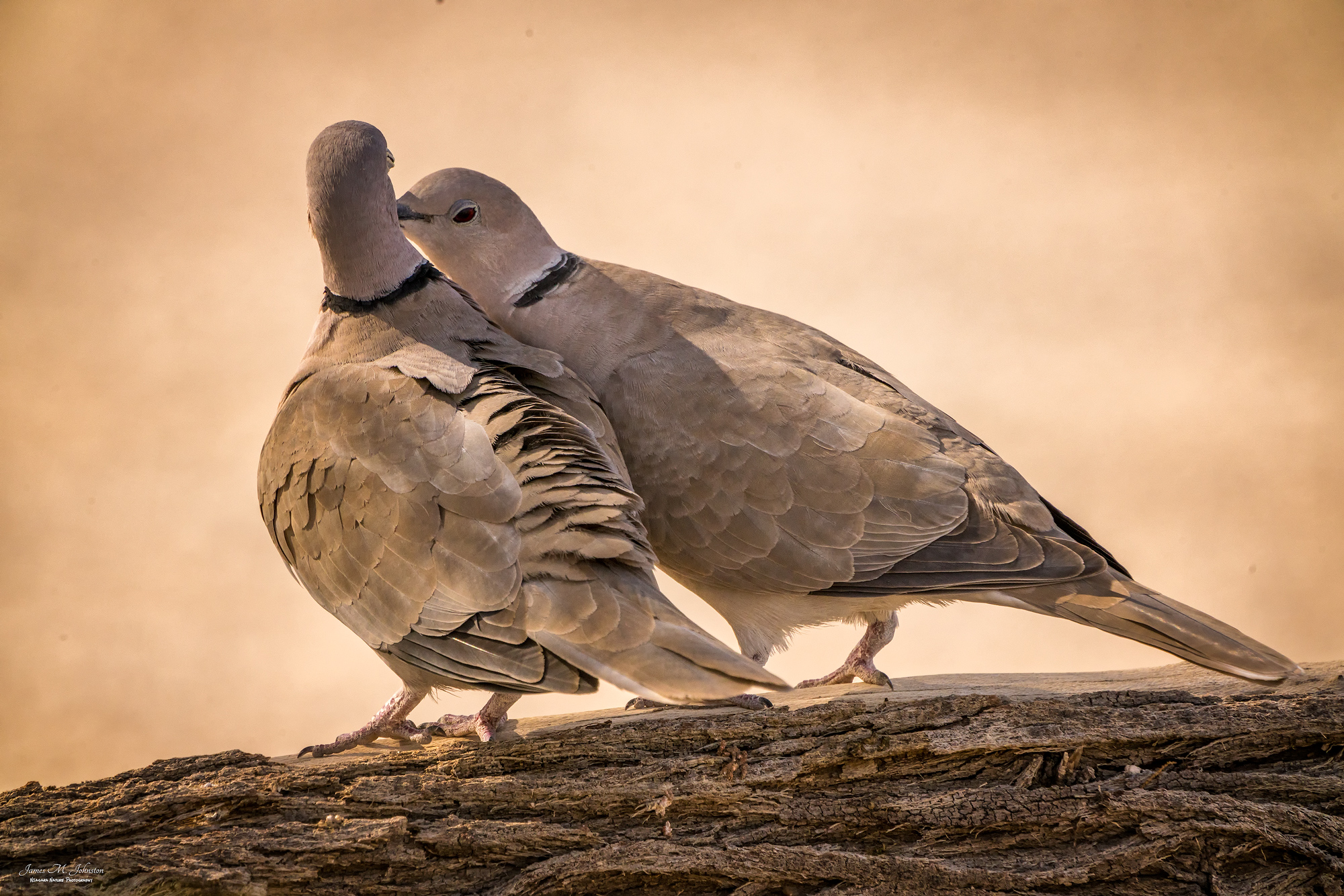 Two Cuddly Doves