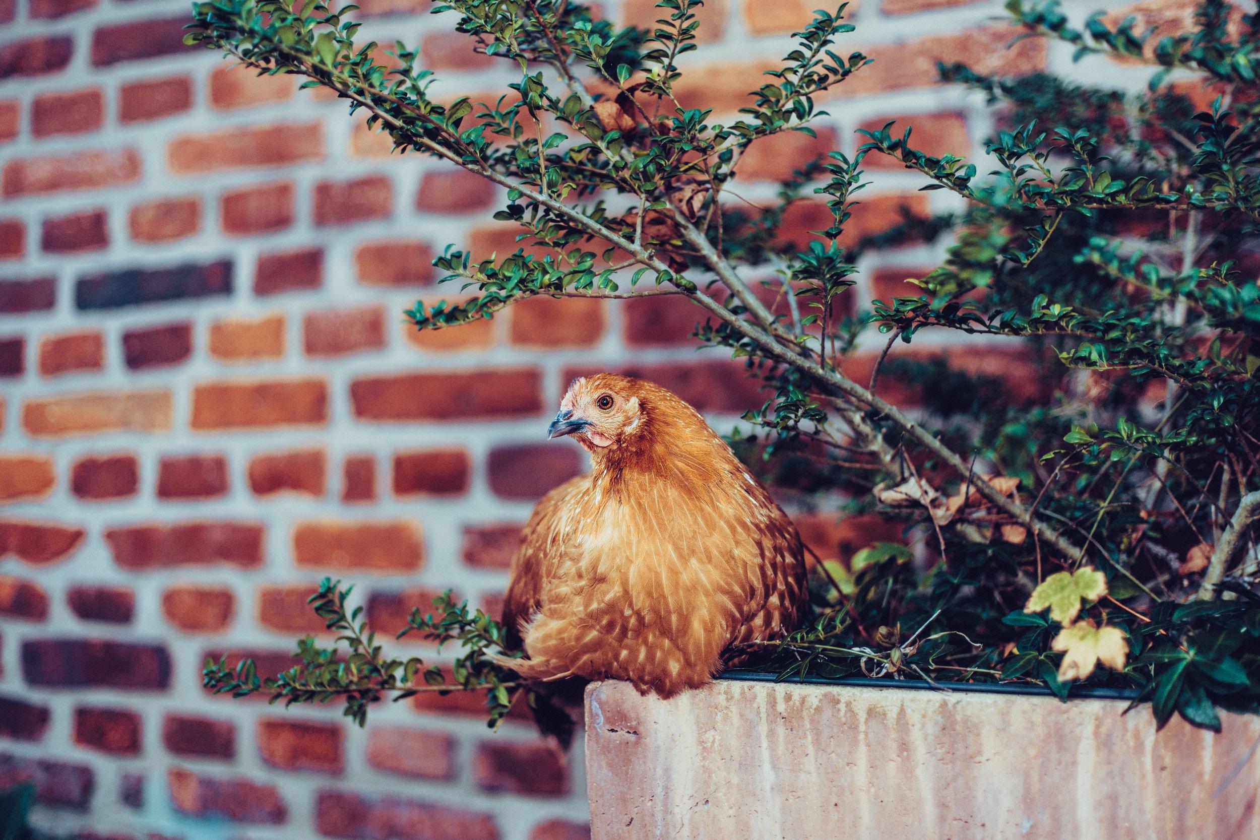 notebook chicken.jpg
