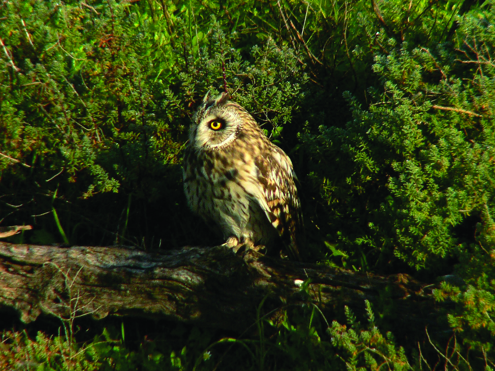 CA wildlife, short eared owl - copia - copia - copia.jpg