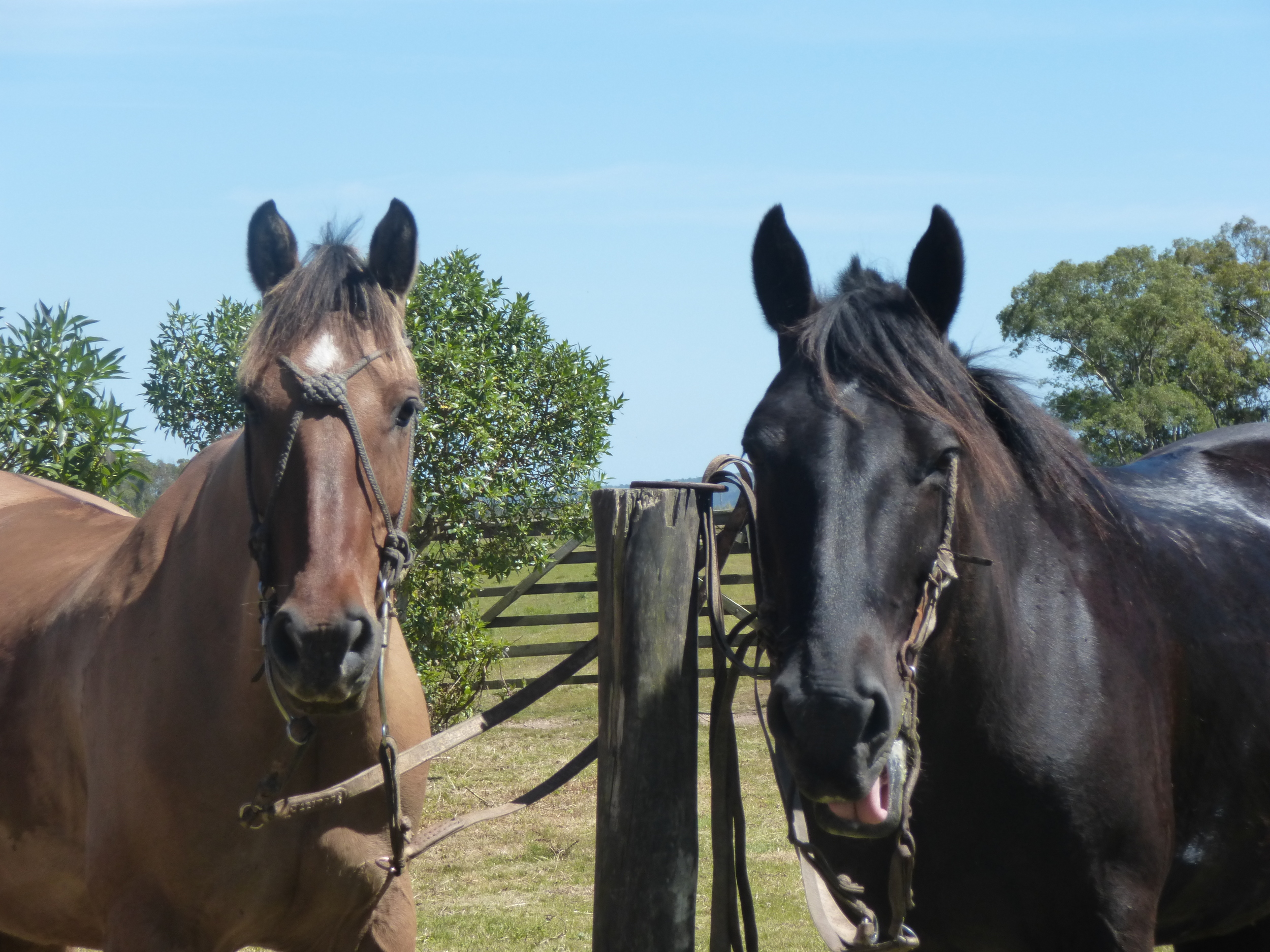 Tablita & Negro - two of the horses in Uruguay. Tablita is half Arab, a little horse with a long stride and a quick turn of paces. Negro coudn't be more different, a lovely, strong, solid horse with a steady gait.