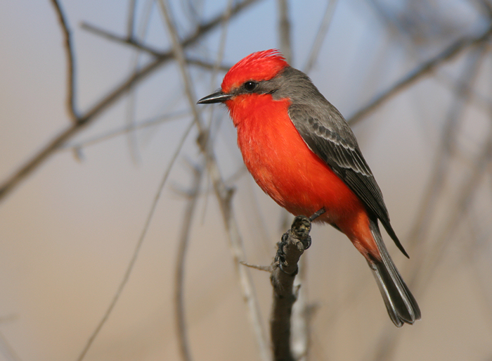 This is not a Robin but a Vermilion Flycatcher that we often see on our Ecuador rides