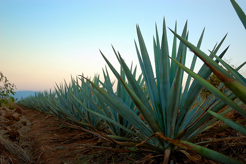 ride andes horse trek agave plant
