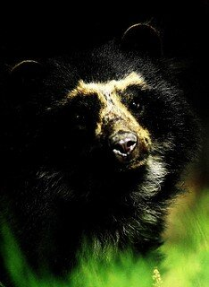 - There is also areasonable chance of seeing the ANDEAN SPECTACLED BEAR on this route, ortantalising pawprints...7 unforgettable days riding, 7 nights accommodation (no camping) for USD2625per person. rideandes@rideandes.com for more details.