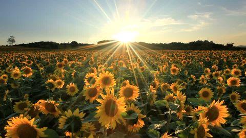 690329349-hokuryu-champ-de-tournesols-rayon-de-soleil-jaune.jpg