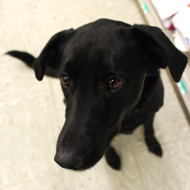 Rivet    Rivet hails from Alabama, moving to Maine as a young puppy in 2009. A black lab mix and all-around great dog, Rivet likes to ride in the truck with her dad, enjoys treats of any kind and loves hanging out with her friends – and she has a lot! Rivet and Sookee often hold very important meetings in the back office discussing things like what kinds of bones should be carried at the stores and testing the durability of new toys.