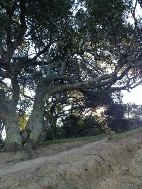 Oak Tree - Terra Linda/Sleepy Hollow Divide