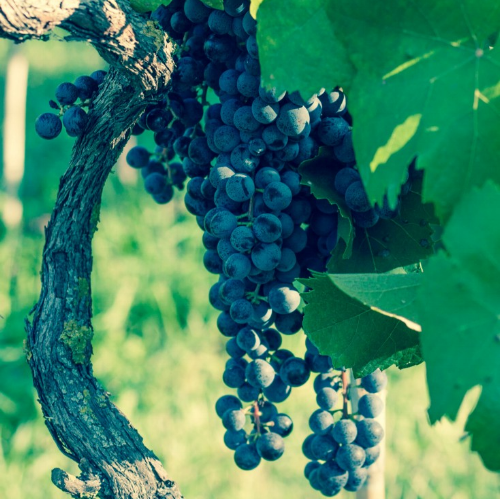 Montepulciano Grapes