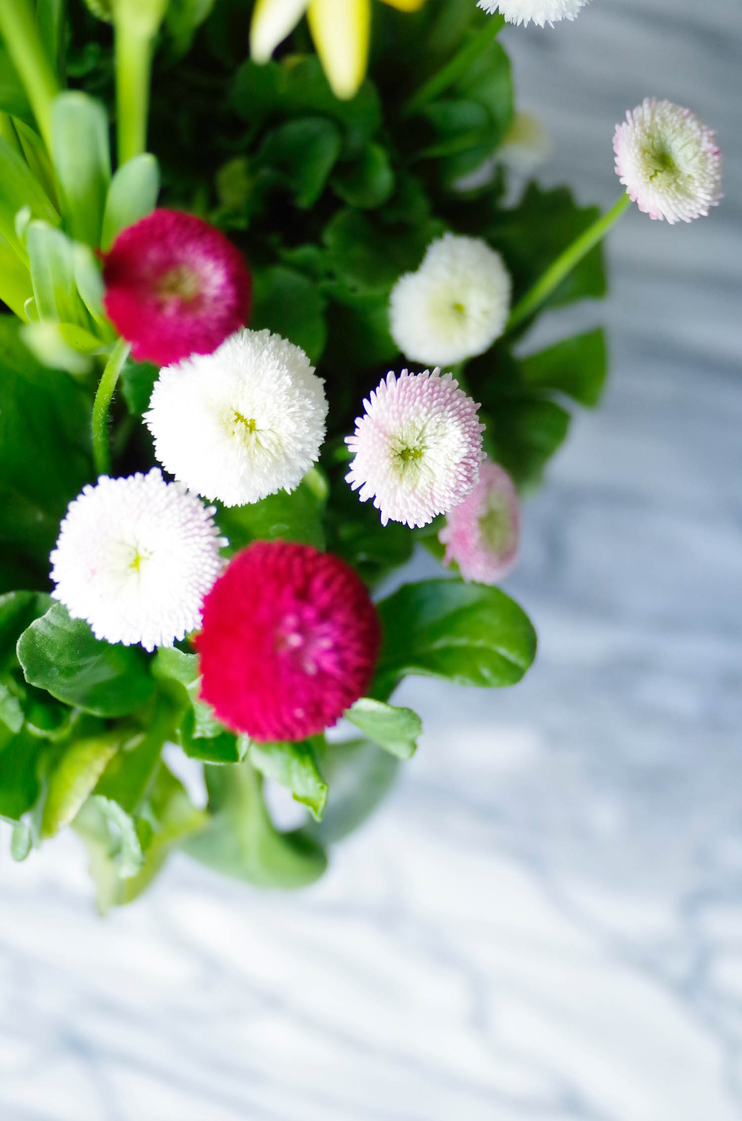 Signs of Spring: I looove English Daisies! Like little buttons in my favorite colors.
