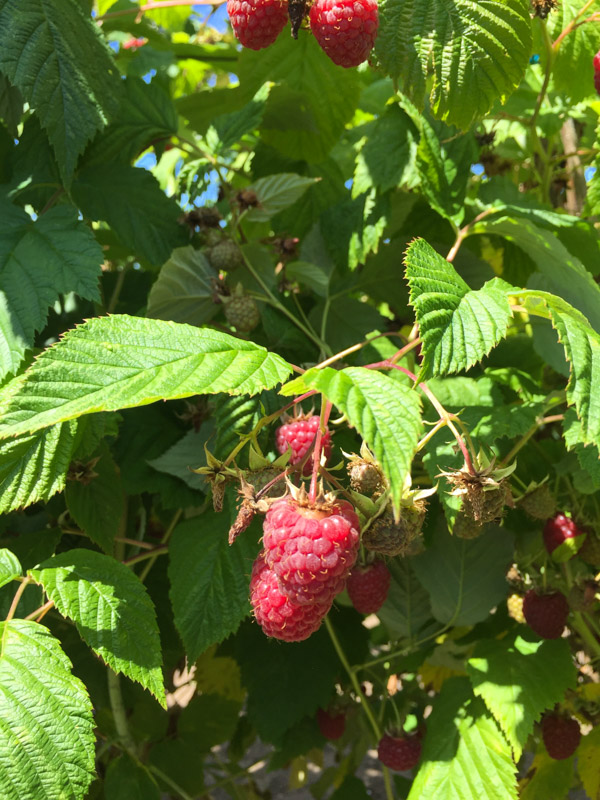 suyematsu-farms-raspberries