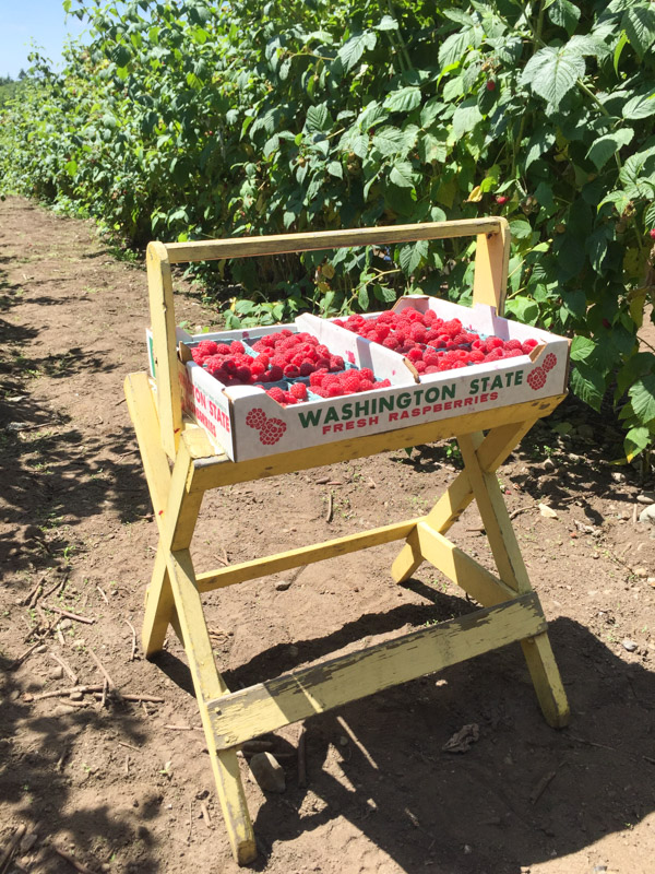 u-pick-raspberries-farm