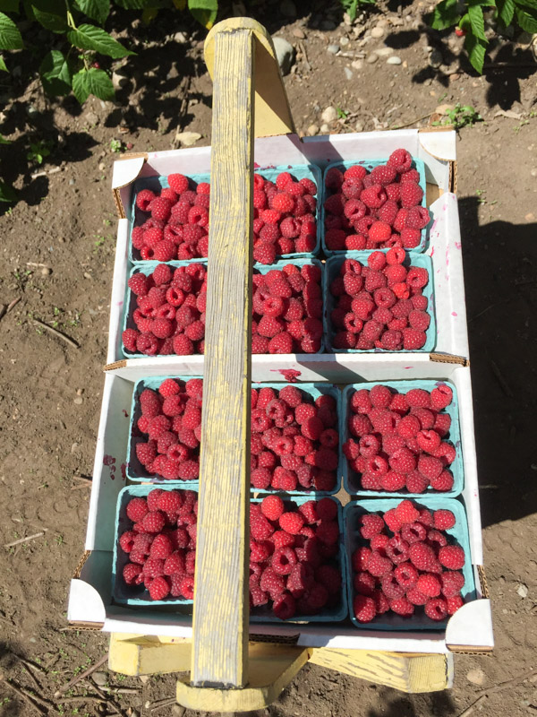 u-pick-raspberries