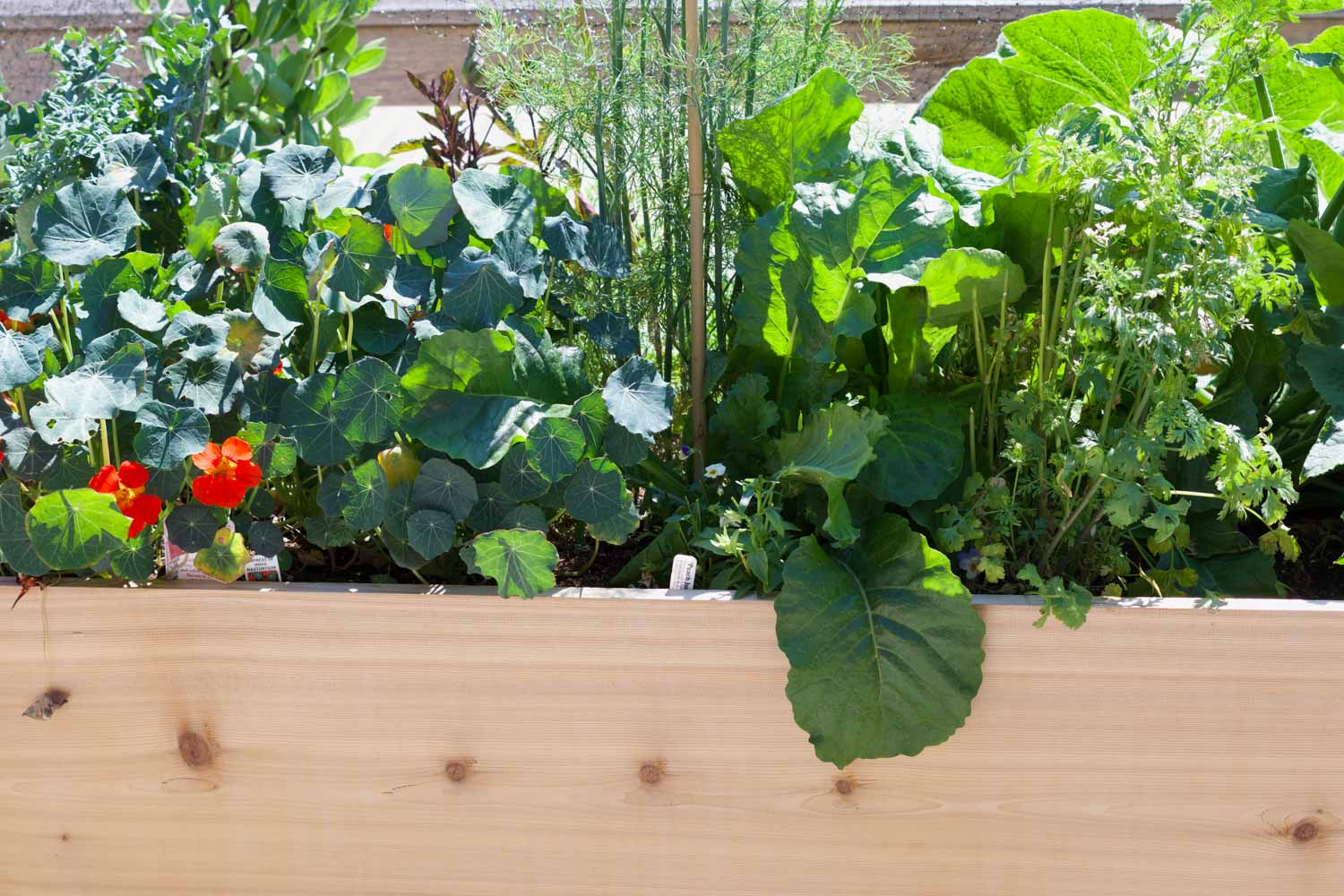 My son's organic vegetable garden, featuring edible flowers and