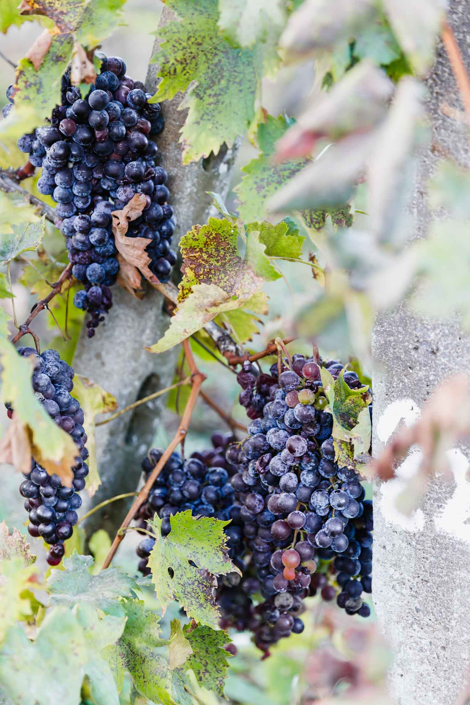 October, the end of grape season at i pini, the organic & vegan farmhouse in Tuscany. The grapes are grown for their own label, all organic wines. #tuscany #travel #italy #italianfarmhouse #organicwine #organicgrapes #vineyards #italyinautumn #veganrestaurant #vegantravel #italytravel #veganitaly #vegantuscany #veganhotel #ecotourism #organichotel #veganhotel #veganretreat #veganbedandbreakfast #sangimignano