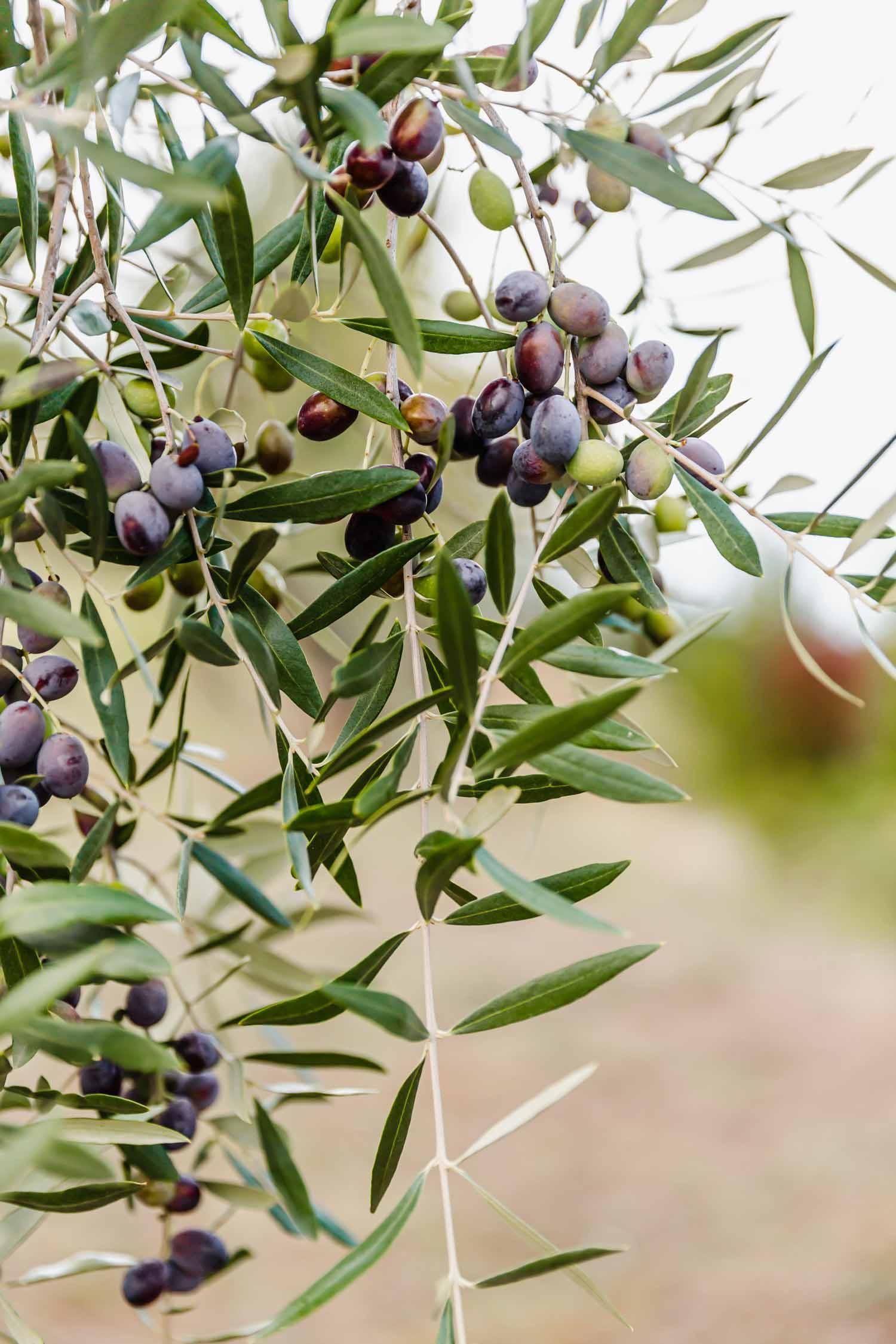 Olives growing at i pini in Tuscany, Italy. The olives are grown to make their own organic olive oil. #tuscany #organicoliveoil #italy #italianfarmhouse #olivegroves #organicoliveoil #vineyards #italyinautumn #veganrestaurant #vegantravel #italytravel #veganitaly #vegantuscany #veganhotel #ecotourism #organichotel #veganhotel #veganretreat #veganbedandbreakfast #sangimignano