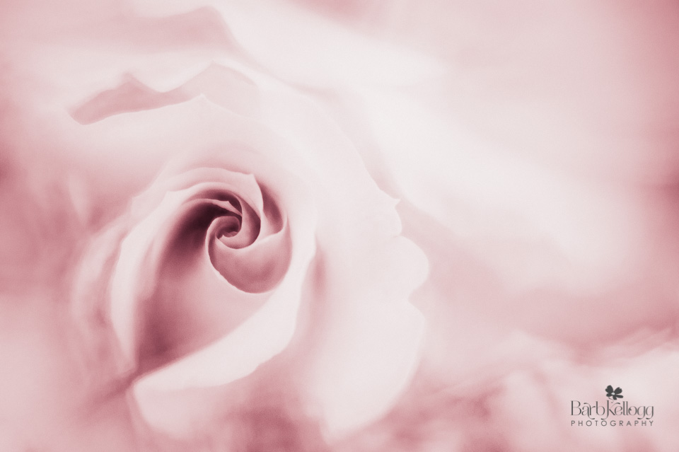 image of a rose, split toned pink and white