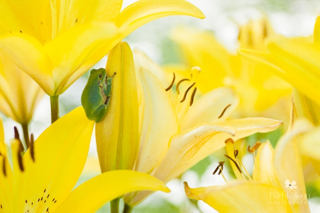 Frog Prince in the Lilies  by Barb Kellogg