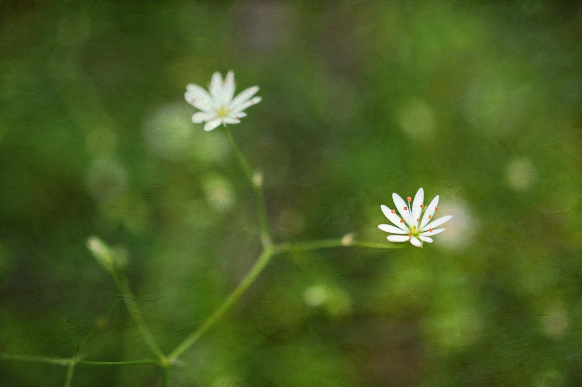 La Petite Fleur