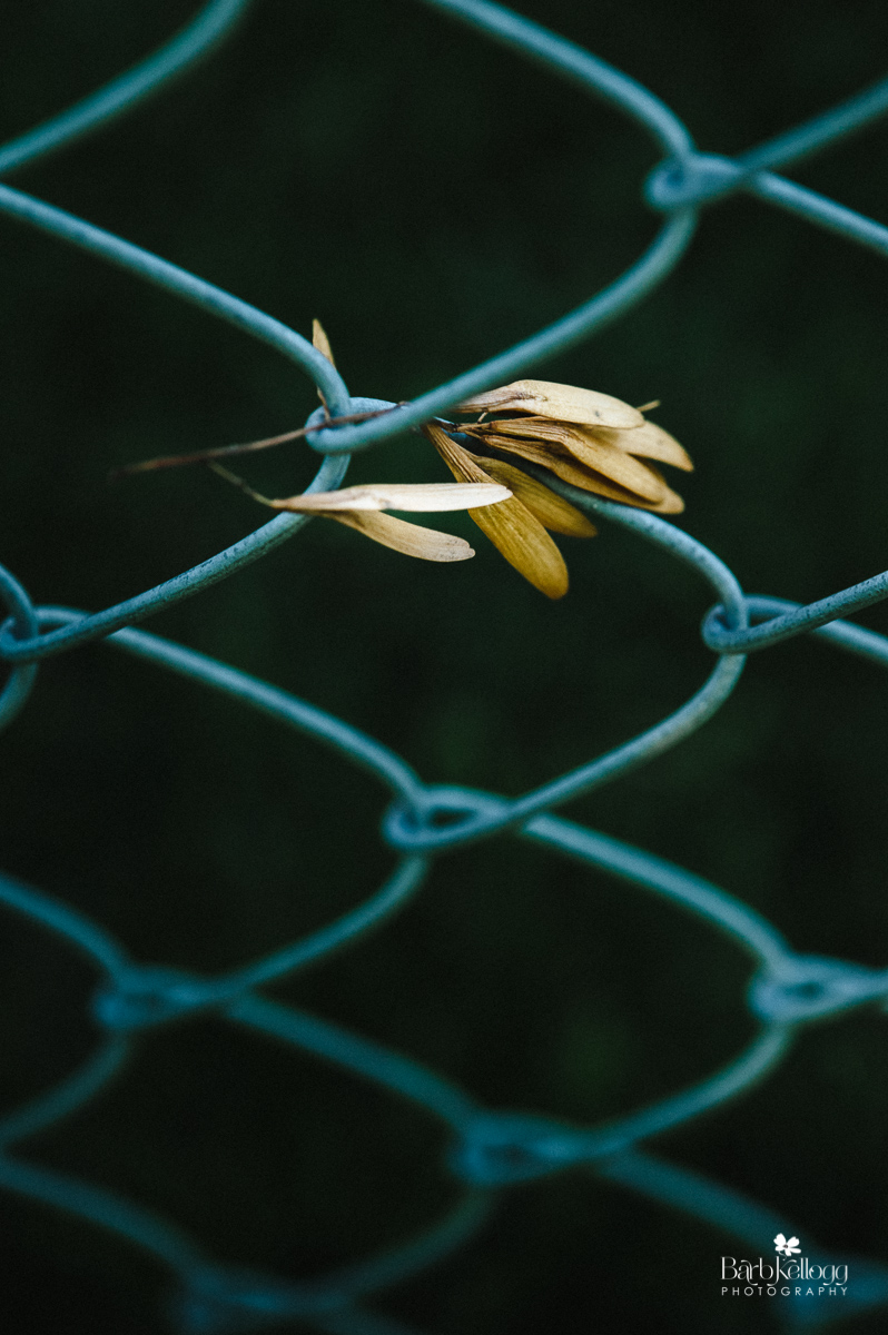Trapped in a Fence