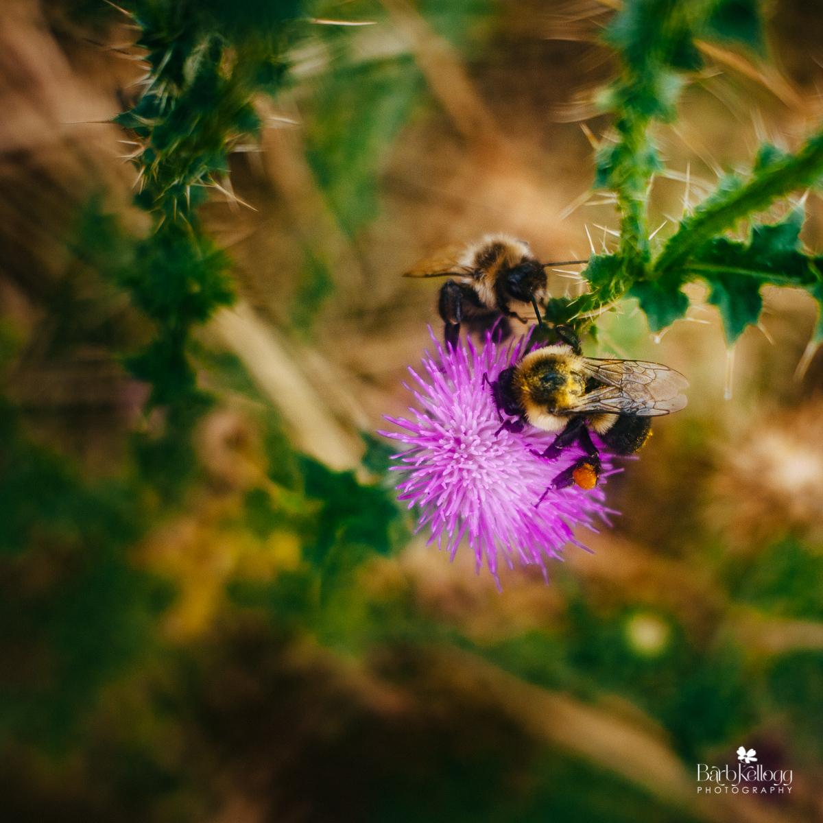 bees-barb-kellogg.jpg