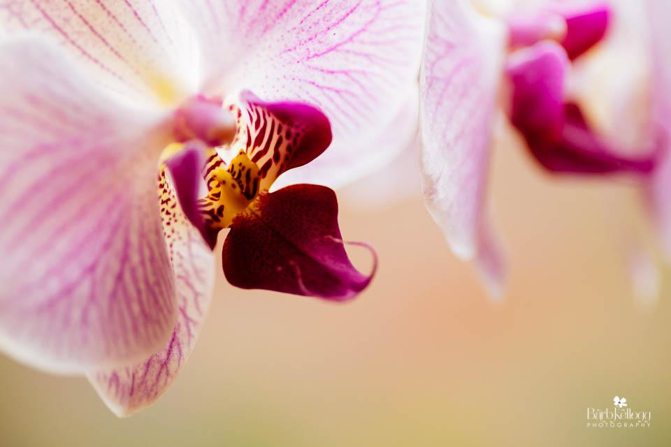 orchid-1-barb-kellogg.jpg