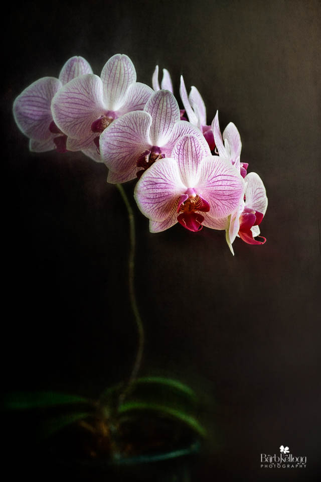 Blooming Orchid  - prints available. Click this image for more in the Shop.