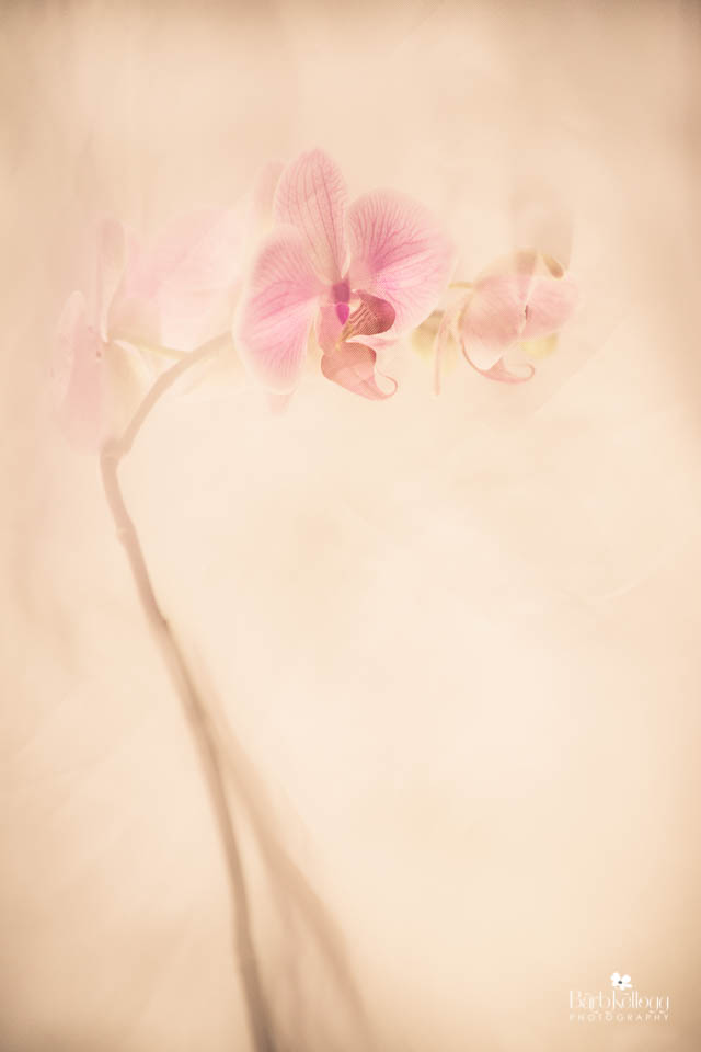 May 2016 -  Orchid Whisper , also available as a print in the Shop. Click this image to go there.
