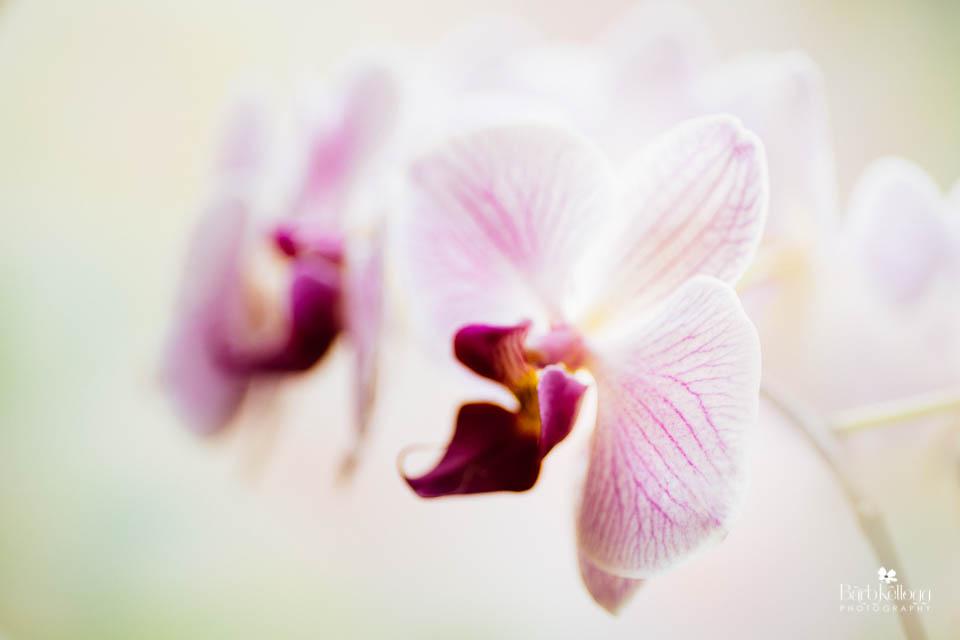 160726_DSC2487_phal_orchid_960px.jpg
