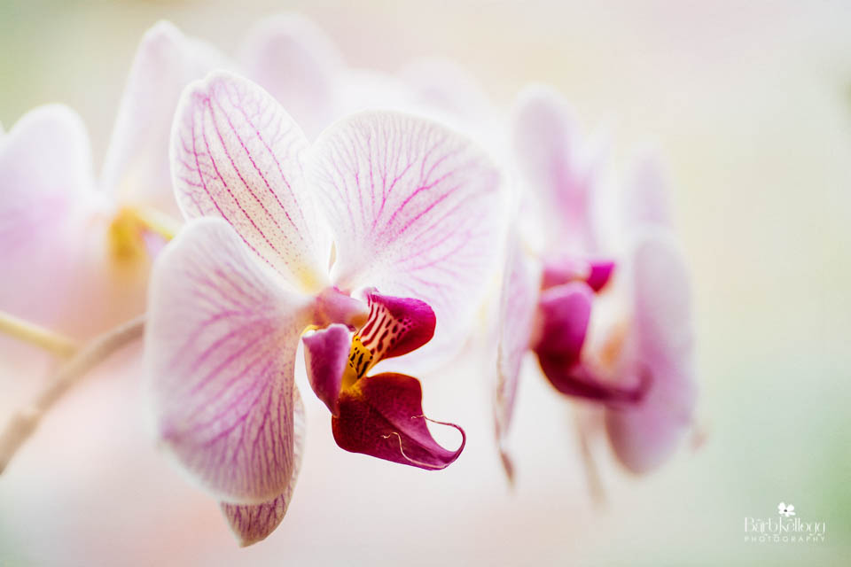 160726_DSC2489_edit_phal_orchid_960px.jpg