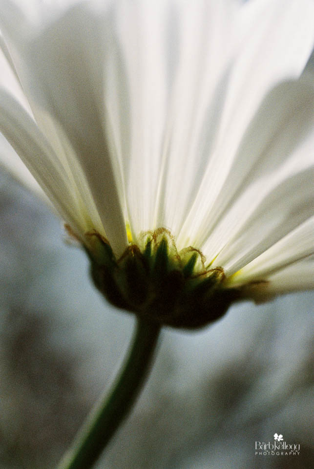 white daisy, background is other foliage, Kodak Portra400 at ISO 800