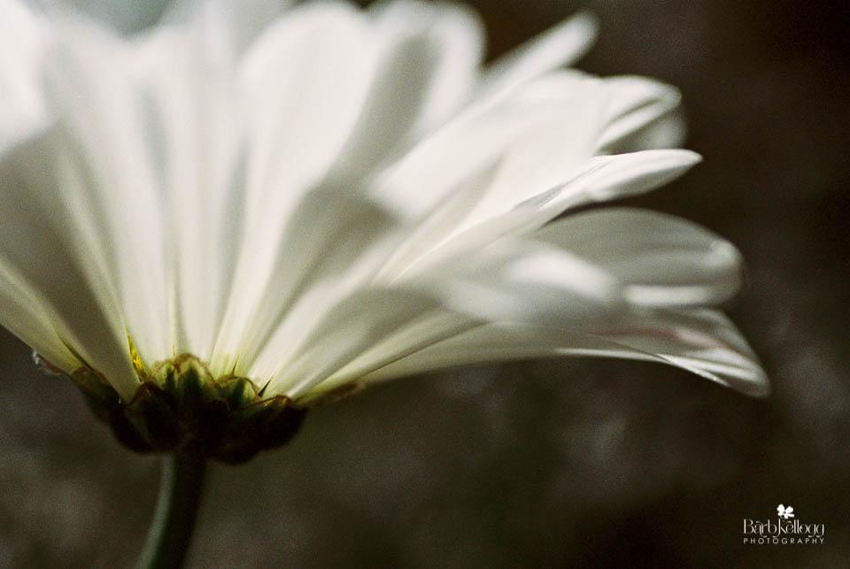 daisy, Kodak Portra400 film at ISO 800