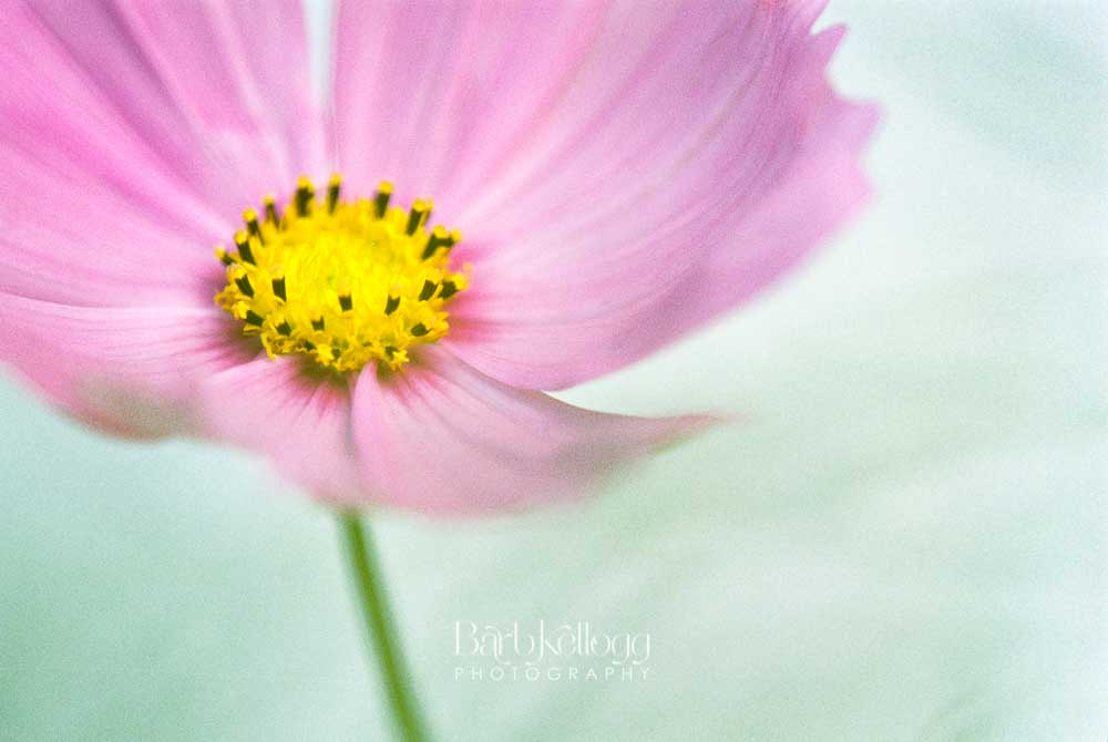 Pink Petals, by Barb Kellogg. A pretty cosmos flower photographed with film.