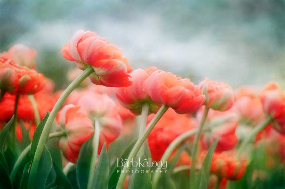 Sea of Tulips - One of 20 photographs on exhibit and for sale