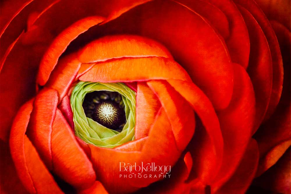Exquisite Beauty , capturing the unfolding of a ranunculus flower. By Barb Kellogg. Click image to buy in Shop.