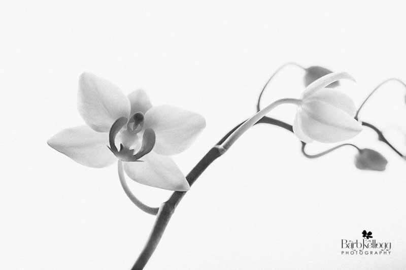 """""""Emergence"""" - an orchid photographed by Barb Kellogg"""