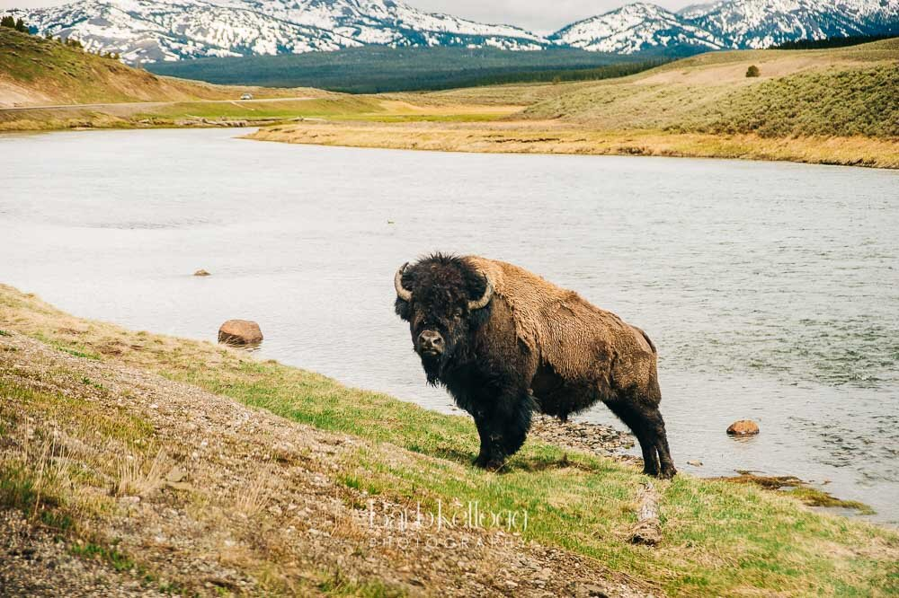 Bison_in_Yellowstone_1000px_Barb_Kellogg.jpg