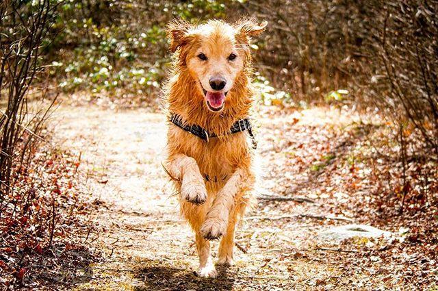 It's Furiday!  Photo Credit: Steve O'Byrne  #brady #dogs #golden #goldenretriever #run #play #friday #athlete #dogsofinstagram #woof #bark #dogslife #model