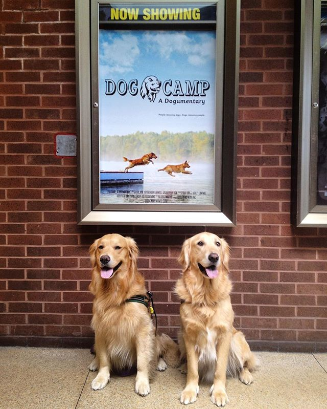 Ripley and Yogi, Dog Camp stars, were very excited to attend the furst screening! Photo Credit: Linda Walter  #documentary #film #dogs #goldenretriever #fun #moviestars #bark #woof #models #goldens #dogsofinstagram #dogstagram
