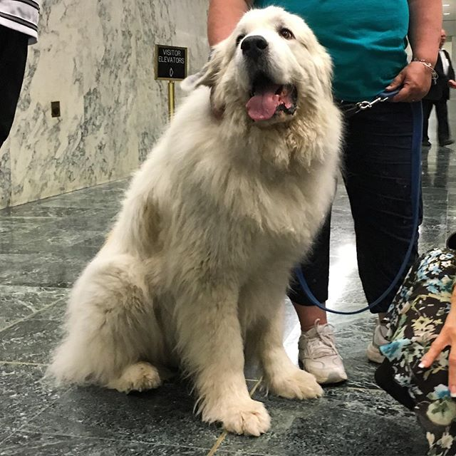 Dog Camp's new furiend Bear at the NYS Animal Advocacy Day last week!  #rescue #rescuedog #bear #dogs #albany #newyork #getinvolved #dogstagram #dogsofinstagram #greatpyrenees #woof #barkhappy