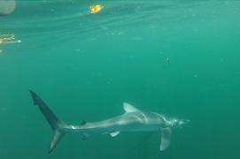 Image of Sharks we catch including Blue, Mako, Porbeagle, and Thresher