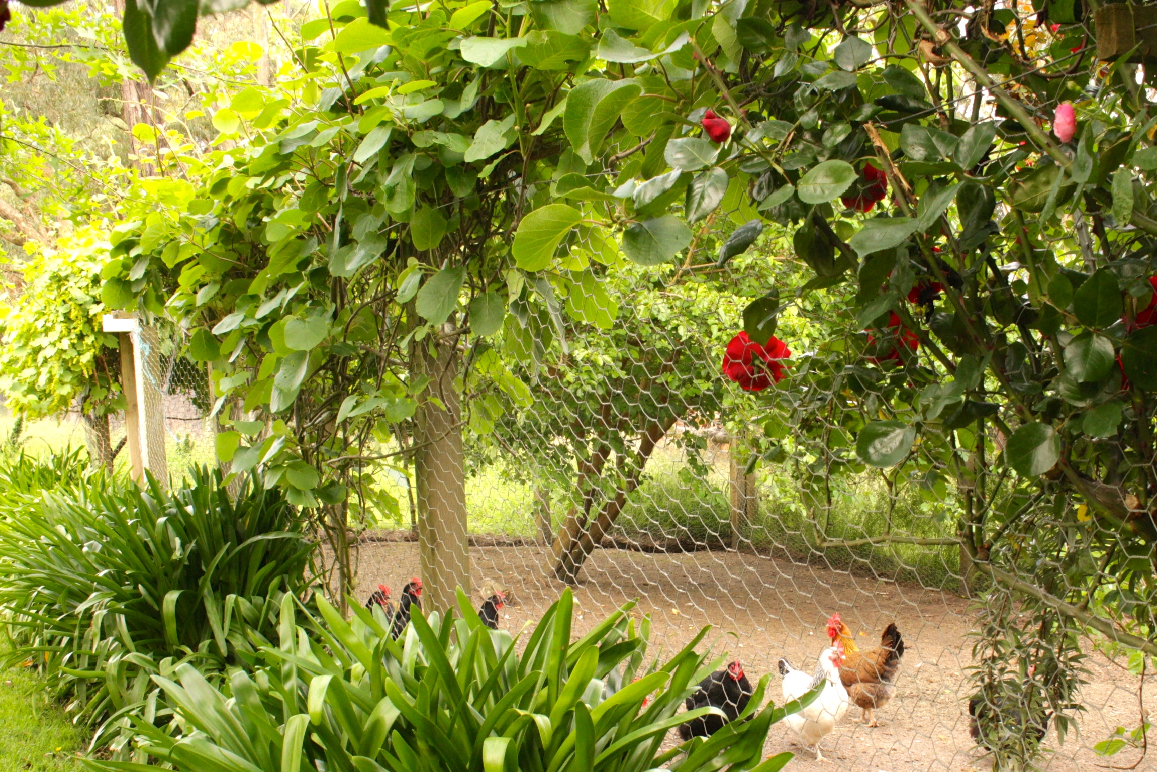 chook yard fence.JPG