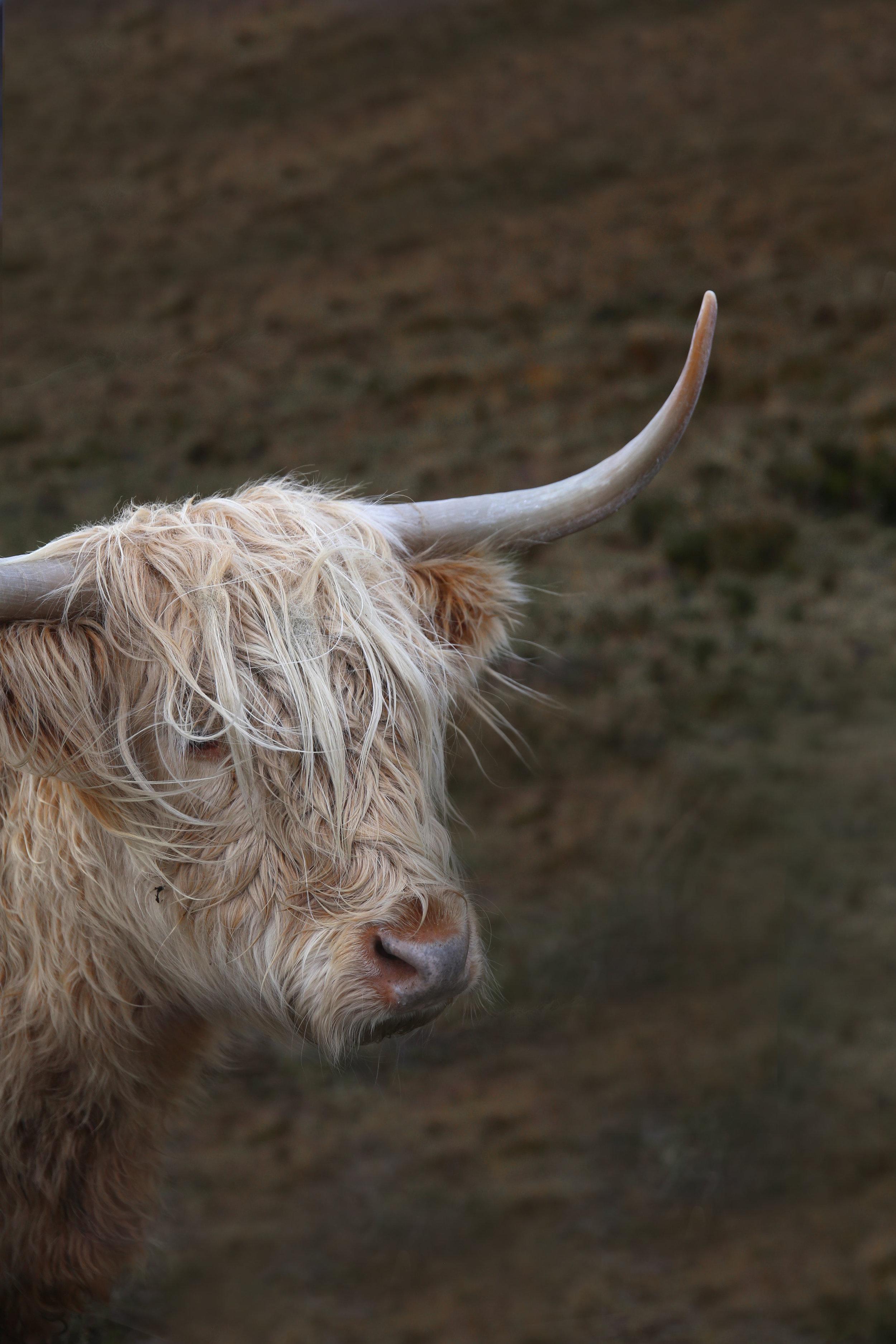 cow-side.jpg