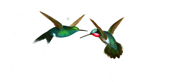 hummingbirds-fight.png